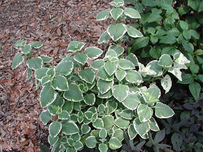 A variegated form of Cuban oregano