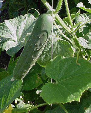 Spring Cucumber. Thereu0027s Nothing Like Having Homegrown Vegetables ...