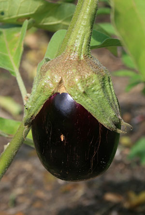Eggplant Gardening Solutions University Of Florida