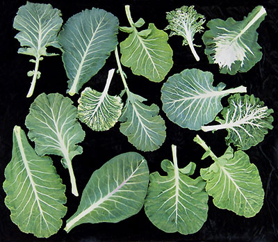 Heirloom collard greens