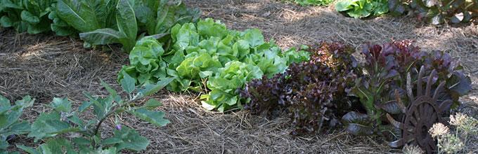 Row of lettuce in garden