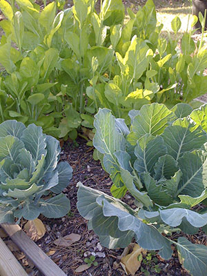 Mustard and collard greens in garden