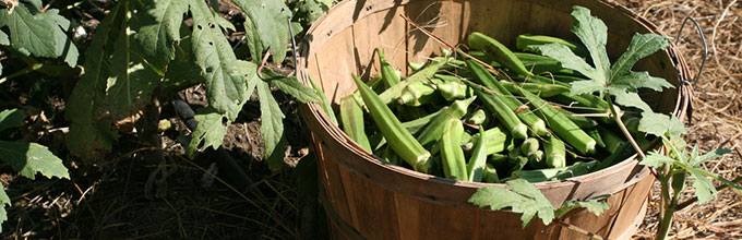 Basket of okra in the field