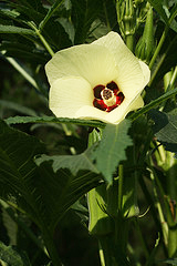 Yellow okra flower with deep red center