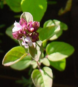 Close up of oregano in flower