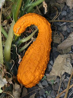 ornamental gourds gardening solutions university of florida