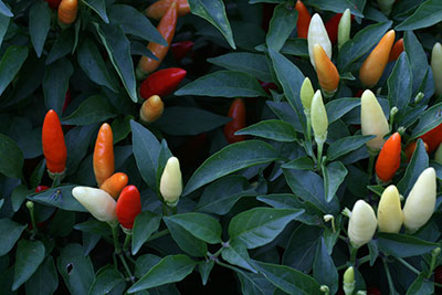 Red and yellow ornamental peppers