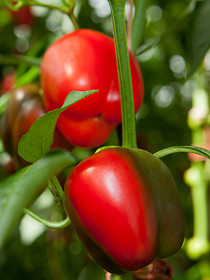 Red bell peppers on the plant