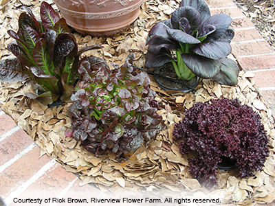 Red leafy plants, photo by Rick Brown of Riverview Flower Farm, all rights reserved