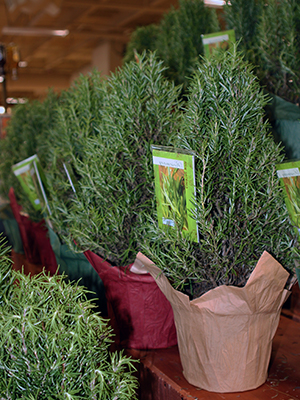 Small Live Christmas Trees In Pots