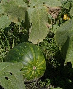 Green pumpkin still growing on the plant