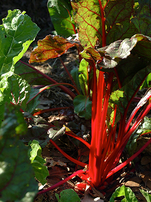 Red stemmed Swiss chard in a very sunny bed