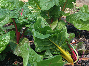 Chard in the garden, with red and yellow stems