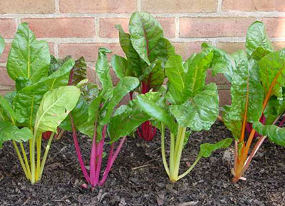 Swiss Chard Gardening Solutions University Of Florida Institute Of Food And Agricultural Sciences