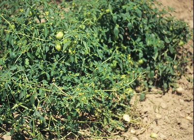 A sprawling, leafy, shrub-like tomatilla plant