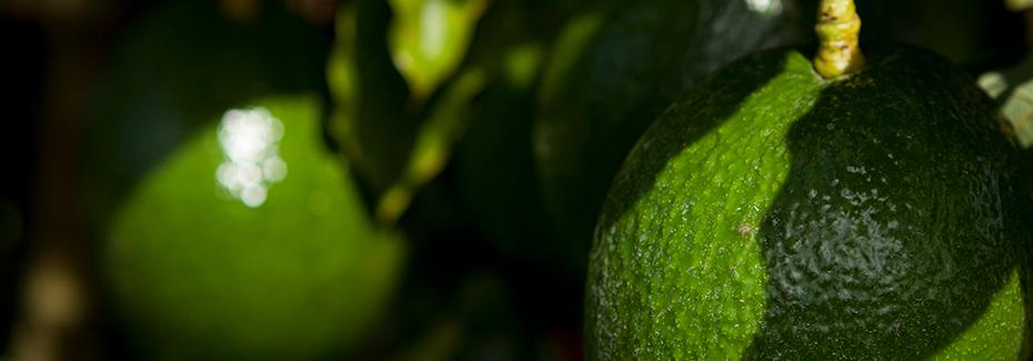 Very close view of smooth green avocados on the tree, photo by Tyler Jones.