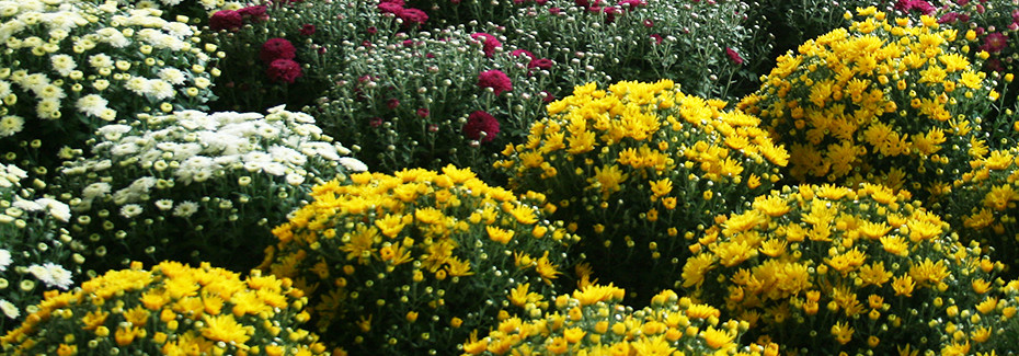 Chrysanthemums in containers