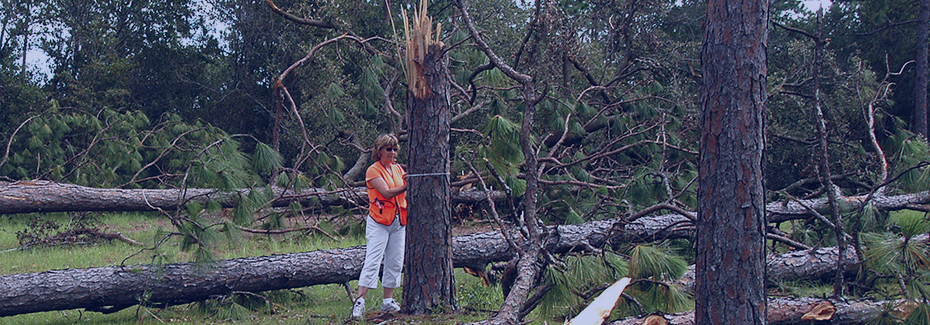 Scientist measuring downed pine trees after a hurricane