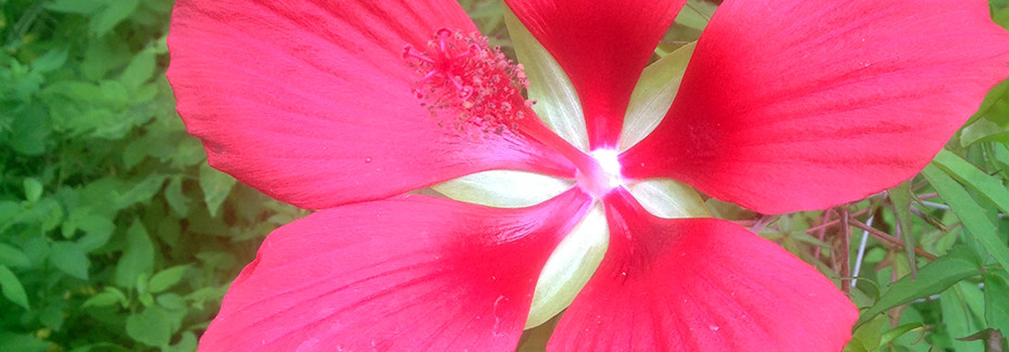Red tropical flower, the native hibiscus
