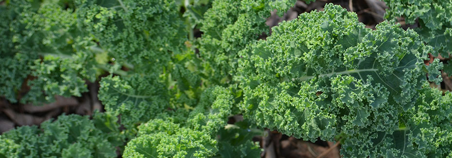 Curly green leaves of kale