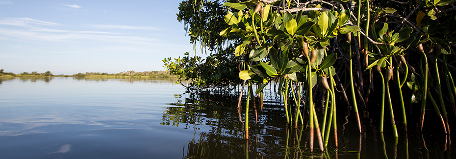 Mangroves growing along the bank of the Indian River Lagoon; photo by Tyler Jones UF/IFAS