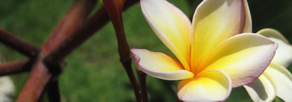 Close view of a creamy white plumeria flower, with yellow center