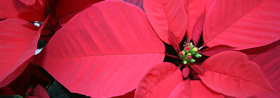 Red bracts of poinsettia