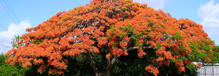 Royal poinciana tree by Scott Zona