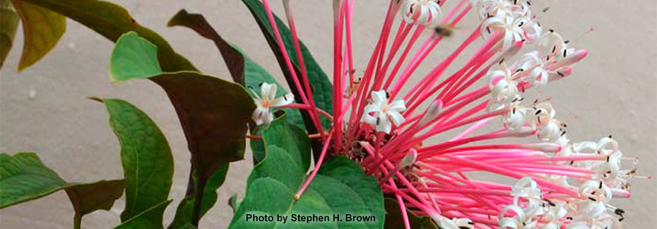 The pink and white tubular flowers of starburst clerodendrum