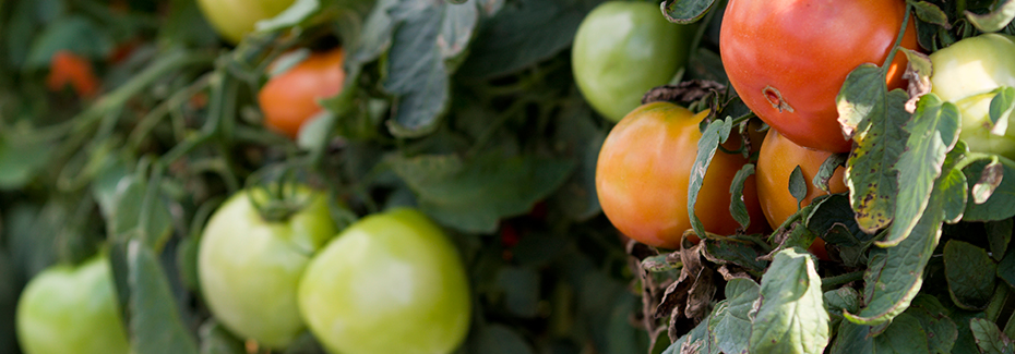 Tomatoes on the vine. Photo by Tyler Jones, UF/IFAS.
