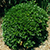 Small round green shrub