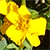 Yellow flower of Mexican tarragon