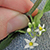 fingers holding the tiny flowers of American black nightshade