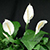 White peace lily flowers