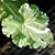 A small and frilled geranium leaf, variegated in green and white