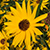 Bright golden yellow daisy like flower with a dark brown center