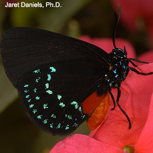 A deep black butterfly with brilliant blue spots on its wings and body and an orange abdomen