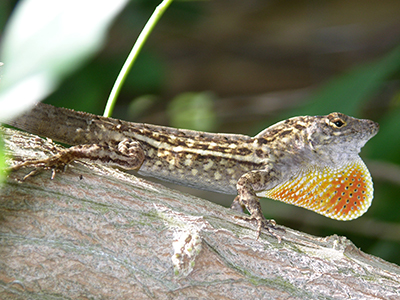 Male Cuban brown anole with dewlap shown