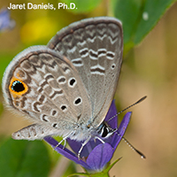 A brown spotted butterfly