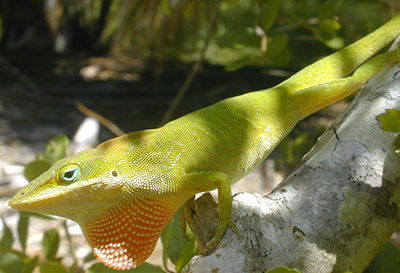 Native green anole, male with dewlap showing