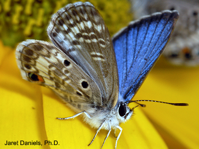 Butterfly with ordinary brown wings on the outter view, but brilliantly blue on the inside, and a white fuzzy body