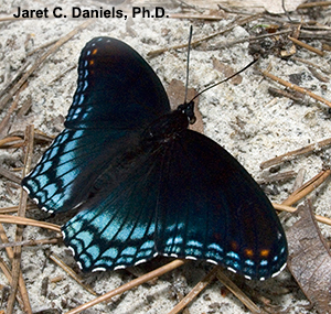 A black and blue butterfly on sand
