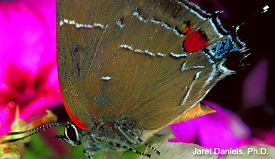 A mostly brown butterfly with a red spot and white lines that sort of resemble the letter M