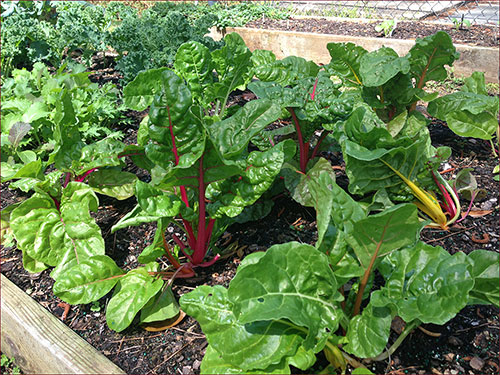 Swiss chard in the Florida Master Gardener's office garden