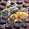 African honey bees