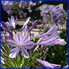 Detail of agapanthus flower