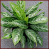 Moonlight Bay Aglaonema