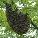 A swarm of African honey bees on a tree