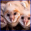 Fuzzy white baby owls