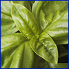 Large, soft, light-green leaves of basil
